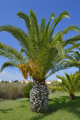 Sago Palm Latin name Cycas revoluta