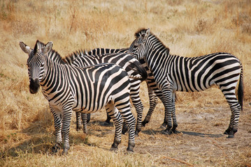 One day of safari in Tanzania - Africa - Zebras
