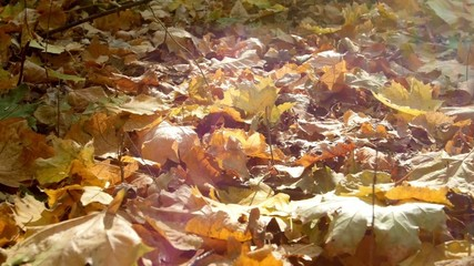 Colorful leaves in autumn forest.