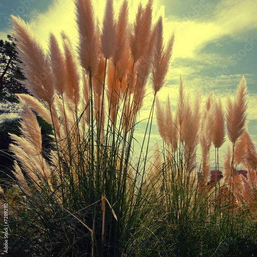 Reed on sky background - 72892112