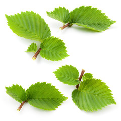 Hazelnut leaves isolated on white background