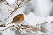 Leinwanddruck Bild - Robin in the snow