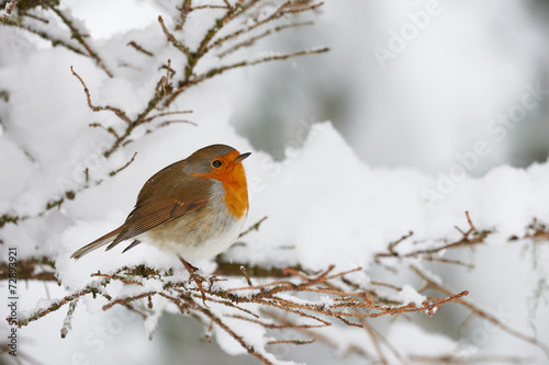 Deurstickers Vogel Robin in the snow