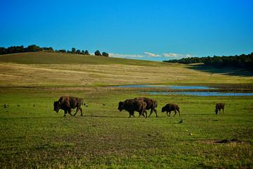 bison bison bisogno