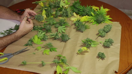 Trimming marijuana buds