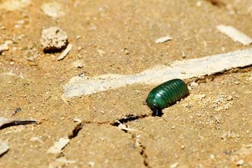 Madagascar emerald pill millipede (Sphaerotheriida)