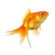 canvas print picture - schleierschwanz fisch zucht