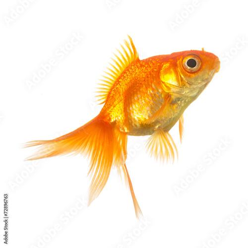 canvas print picture schleierschwanz fisch zucht