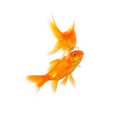 gold fish couple on white
