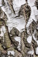 birch bark texture background