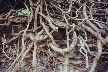 big tree root.  Roots of old tree
