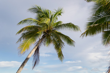 Palm tree on Kwajalein Marshall Islands