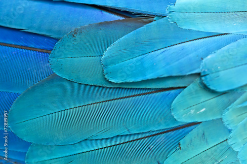 Closeup feather blue and gold Macaw ,Background