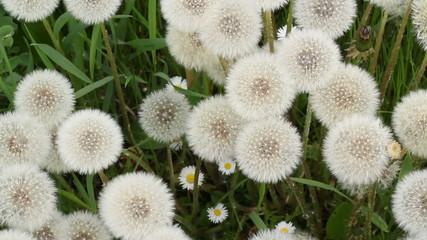 Dandelions swinging on the wind