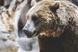 Predator, beautiful and furry brown bear, mammal