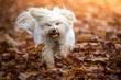 canvas print picture - Hund im Herbst Laub