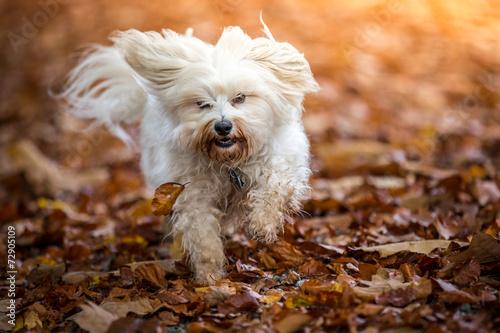 canvas print picture Hund im Herbst Laub