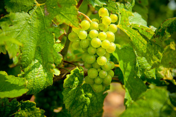 White bunches of grape in the vineyard