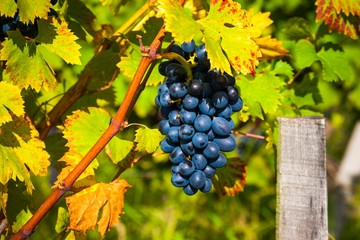 Red bunches of grape in the vineyard