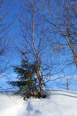 Winter nature, fir and birch