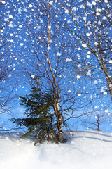Winter nature, two trees in snow