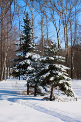 Christmas trees in forest