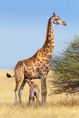 adult female giraffe with calf suckling breast milk