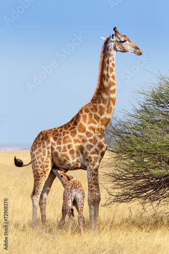 Foto op Aluminium Giraffe adult female giraffe with calf suckling breast milk