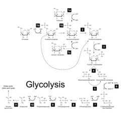 Chemical scheme of glycolysis metabolic pathway