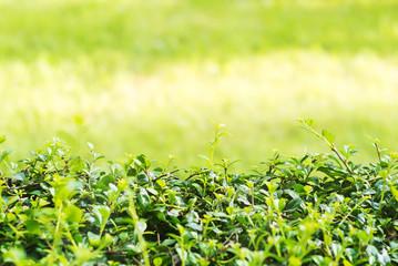 Natural green wall .