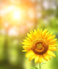 Bright yellow sunflower