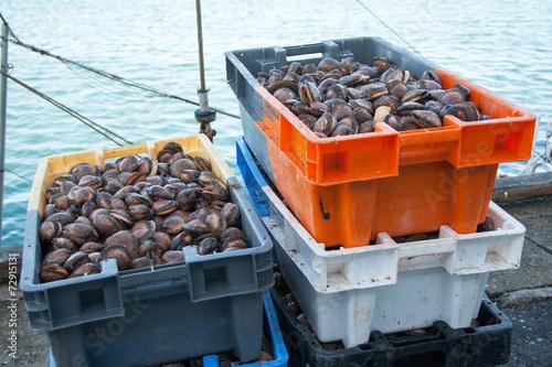 Papiers peints Coquillage Coquillages amandes en retour de pêche, Douarnenez, Bretagne