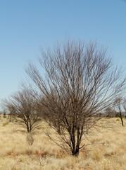 Dead tree in the Mcdonnell ranges in Australia