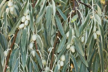 Hojas y frutos de Árbol del Paraíso. Elaeagnus angustifolia.