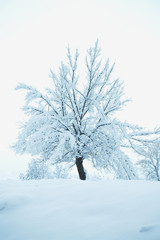 Single tree covered with fresh snow