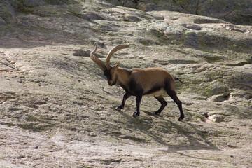 Cabra Montés macho. Capra pyrenaica victoriae. Gredos, Ávila.