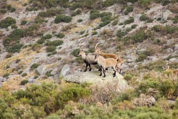 Machos de Cabra Montés. Capra pyrenaica victoriae. Gredos.