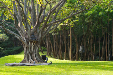 big tree in a temple garden