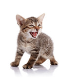 The mewing striped kitten. poster