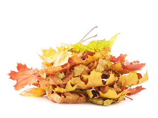 Pile of colorful maple leaves isolated