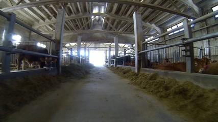 stalla e mucche in una azienda agricola