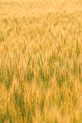 麦の穂 栃木