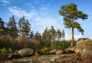 pine trees individual and collective