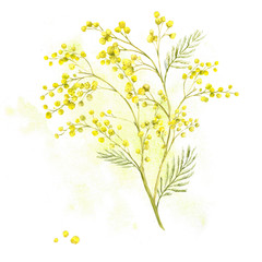 Sprig of Mimosa, Spring Watercolor Background