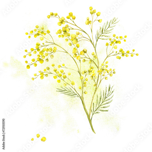 Sprig of Mimosa, Spring Watercolor Background - 72930590
