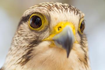 tête de faucon pèlerin