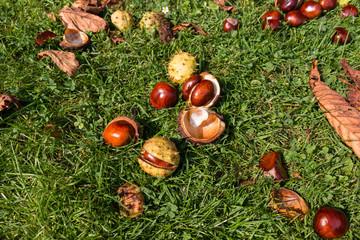 Viele Kastanien auf einer Herbstwiese mit Laub