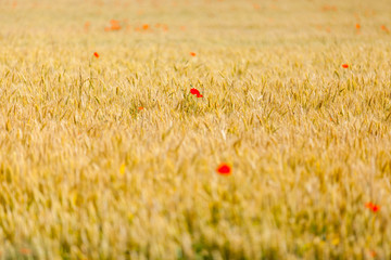 poppies on the flax field