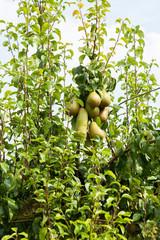 poiriers chargés de poires dans un verger au soleil