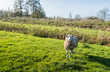 Woolly sheep standing in low afternoon light